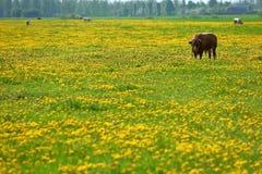 Las vacas son los animales del campo populares que se encuentran por todo el mundo Imágenes de archivo libres de regalías