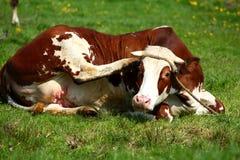 Las vacas son los animales del campo populares que se encuentran por todo el mundo Fotografía de archivo