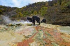 Las vacas tienen sediento también y bebida a partir de las primaveras termales fotografía de archivo libre de regalías
