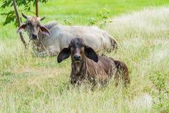 Las vacas toman un resto Imagen de archivo libre de regalías