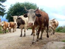 Las vacas van al pasto Foto de archivo libre de regalías