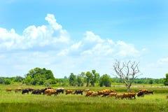 Las vacas van a almorzar su Foto de archivo libre de regalías
