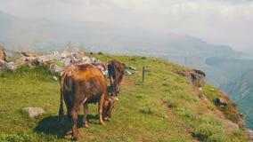 Las vacas van a lo largo del acantilado del barranco en las montañas de Armenia Motobike en fondo almacen de metraje de vídeo