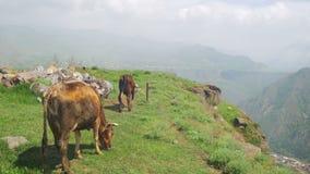 Las vacas van a lo largo del acantilado del barranco en las montañas de Armenia almacen de video