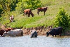 Las vacas vienen beber el agua del lago en pueblo Imagen de archivo