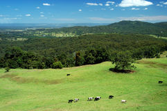 Las vacas vienen a casa 1 fotos de archivo libres de regalías