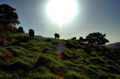 Las vacas vuelven a casa Imagen de archivo libre de regalías
