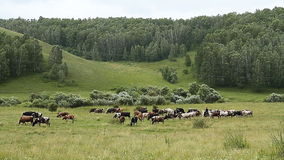 Las vacas y el Oxens almacen de video