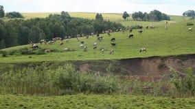 Las vacas y el Oxens almacen de metraje de vídeo