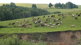 Las vacas y el Oxens metrajes