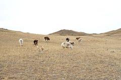 Las vacas y los yacs pastan en un pasto salvaje y corren alrededor con un perro de pastor del japonés Akita en primavera en un pa Imagenes de archivo