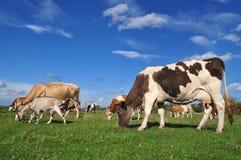 Las vacas y una cabra en un verano pastan. Fotografía de archivo libre de regalías