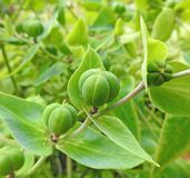Las vainas de la semilla con las hojas de punta hojean cabeza de flores de las plantas fotos de archivo libres de regalías