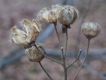 Las vainas secas de la semilla abren y acaban de lanzar las semillas pero aún en árbol imagenes de archivo
