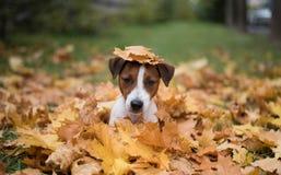 Las- Vegassteckfassungsrussel-Terrier Stockbild