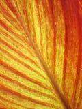 Las venas de una hoja roja del plátano Fotos de archivo