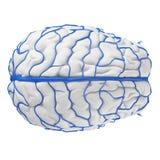 Las venas del cerebro libre illustration