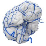 Las venas del cerebro stock de ilustración