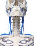 Las venas del cuello stock de ilustración