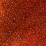 Las venas rojas de la hoja de la enredadera de Virginia del otoño se cierran para arriba. Foto de archivo
