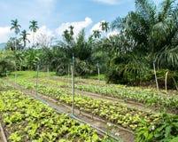 Las verduras orgánicas frescas cultivan crecimiento en jardín del patio trasero en el campo de Tailandia listo para hacer la comi Fotos de archivo