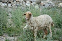 Las vidas de ovejas fotos de archivo libres de regalías