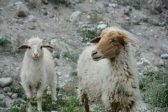 Las vidas secretas de ovejas fotos de archivo