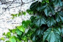 Las vides verdes torcieron en espiral contra la pared blanca imagenes de archivo