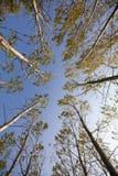 Las w jesieni Spod spodu Zdjęcie Royalty Free