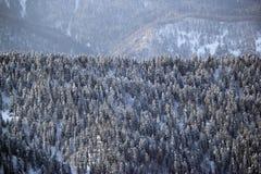 Las w Krasnaya Polyana Zdjęcia Stock