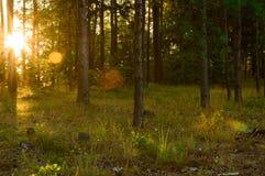 Las w ranek Zdjęcia Stock