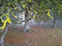 Las w ranek mgle fotografia stock