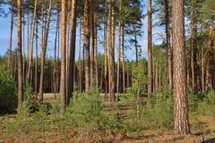 Las w słonecznym dniu Wysokie nikłe sosny zdjęcie stock
