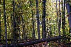 Las w spadek w Michigan kolorowych drzewach Obrazy Royalty Free