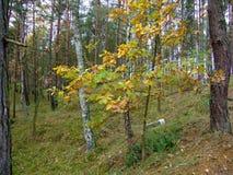 Las w spadku Zdjęcie Stock
