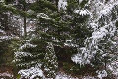 Las w zima Obrazy Stock