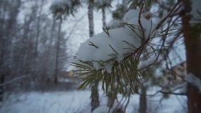 Las w zimie Mnóstwo śnieg W przedpolu młoda sosny gałąź w śniegu zbiory wideo