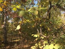 Las, wcześni jesieni drzewa, liście Obraz Stock