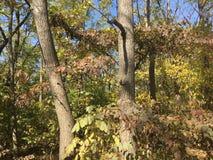 Las, wcześni jesieni drzewa Obrazy Stock