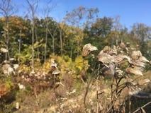 Las, wczesna jesień Suchy oset, zakończenie Obraz Royalty Free