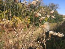 Las, wczesna jesień Suchy oset, zakończenie Obrazy Stock