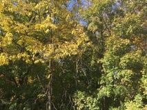 Las, wczesna jesień Drzewa Obraz Stock