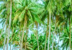 Las wysokie i niskie drzewka palmowe fotografia stock