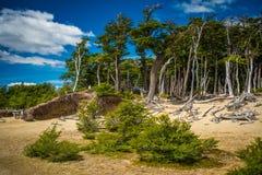 Las wzrasta przeciw niebieskiemu niebu Shevelev obraz stock