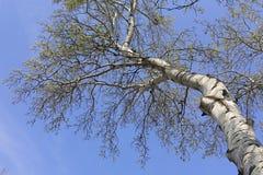 Las z wysokimi brzoz drzewami Obraz Royalty Free