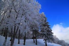 Las zakrywający śniegiem i niebieskim niebem Zdjęcie Royalty Free