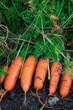 Las zanahorias orgánicas frescas enderezan fuera de la tierra El cultivar un huerto orgánico en su más fino Foto de archivo