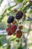 Las zarzamoras grandes y sabrosas del fruticosus del Rubus del jardín, ennegrecen bayas maduradas de las frutas en ramas imagenes de archivo