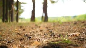 Las ziemia na którym konusujemy w jesień lesie podczas zmierzchu sucha trawa i sosna zdjęcie wideo