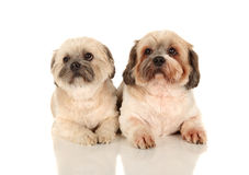 Lasa Apso Royalty Free Stock Image
